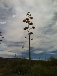 Yucca's